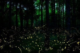 synchronous fireflies elkmont smoky mountains