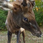 elk attacks photographer