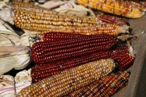Corn cob decor in fall colors